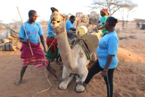 Lenantari joins camel handlers to load medicine and other commodities on a camel ahead of a camel outreach in Samburu East. PHOTO: IMPACTHUB MEDIA