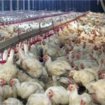 Why suffering of chicken should worry us-Photo-World Animal Protection