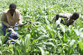 Kenyan mobile app could save tea farmers billions of shillings. PHOTO- Nation.co.ke