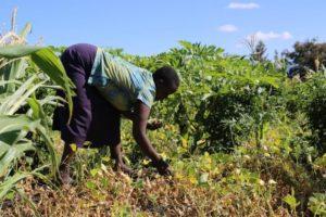 Susan, weeding around bean plants at her farm in Kambi Sheikh, Isiolo CountySusan, weeding around bean plants at her farm in Kambi Sheikh, Isiolo County